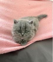 Britisch Langhaar Kitten Katze