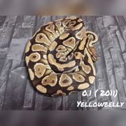 0 1 yellow belly