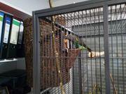 Suche Meyers Papagei Henne oder