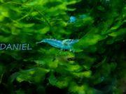BLUE PEARL Garnelen Neocaridina Garnele