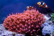 Meerwasser Kupferanemone auch tausch geg