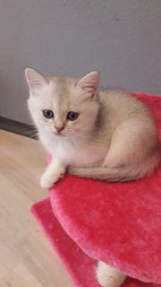 Bkh Kitten Kater blue silver