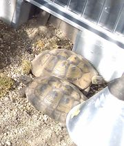 Griechische Landschildkröten weiblich zu verkaufen