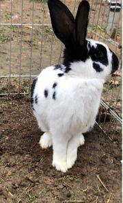 Kaninchen Hase Häsin Schecke ca
