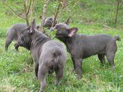 French Bulldog Welpen in BLAU