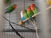 6 Lovebirds mit großer Innenvoliere