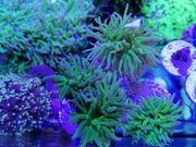 Euphyllia Korallen Korallenableger Meerwasser