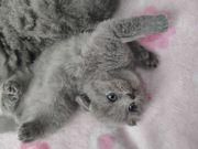 Zucker Süß BKH Kitten