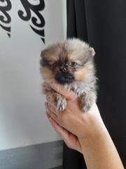 Pomerian Pomeranian welpen Mini teddy
