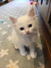 Ragdoll-Kätzchen