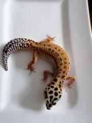 0 1 Weibchen