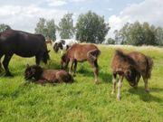 Shetland Pony Stutfohlen