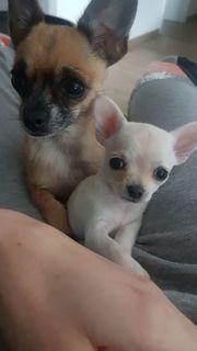 Chihuahua Welpe weiblich RESERVIERT