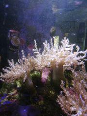 Korallen Ableger Weichkorallen Capnella und