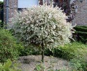 Hakuro-Weide Baum höche Pflanze 150cm
