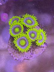 Zoa Blueberry Pie