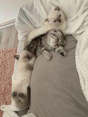 BKH Scottisch Fold Kitten