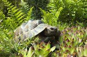 Maurisches Landschildkröten - Männchen - Nachzucht 2014