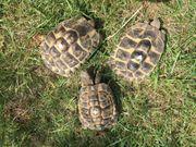 3 griech Landschildkröten Testudo hermanni