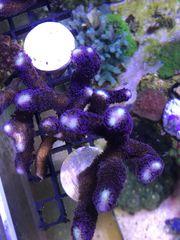 Stylophora milka 10cm ableger koralle