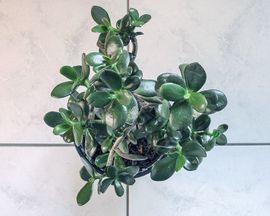 Geldbaum Pfennigbaum Dickblatt Crassula ovata: Kleinanzeigen aus Lustenau - Rubrik Pflanzen