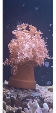 meerwasser goniopora
