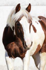 2 jähriger Paint Horse Hengst
