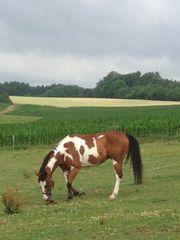 Lauffreudiger braver Scheck-Wallach Paint Horse