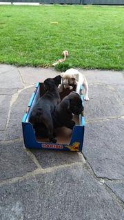2 Französische Bulldoggen Jack Russel