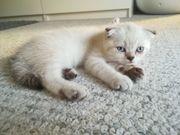 BKH Scottish Fold Kitten - Preis