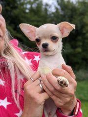 Wunderschöner Chihuahua KH Rüde