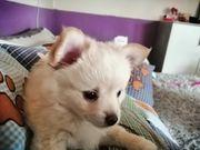 Pomeranian Chihuahua mix Welpen Pomchi