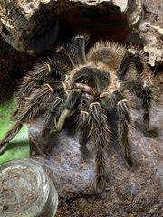 Abgabe von Vogelspinnen Spinne