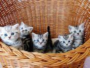 BKH Kitten in black-silver-tabby Whiskas