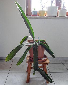 großer Blattkaktus weiss Epiphyllum Kaktus: Kleinanzeigen aus Lustenau - Rubrik Pflanzen