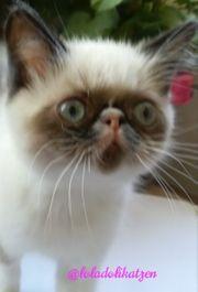 Exotisch Kurzhaar Kitten sucht ein