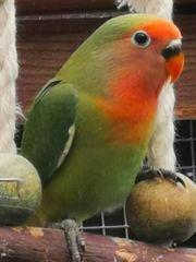 Junge Rosenköpfchen Papagei zu verkaufen