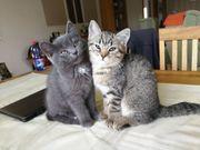 2 BKH-Kitten such ab sofort