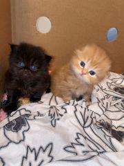 scottish fold Geschwister Kitten rot