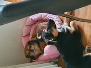 Suchen dringend Hundesitter