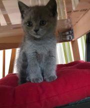 Schöne russische blaue Kätzchen sind