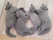 Reinrassige BKH Kitten Babys