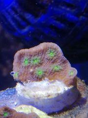 Meerwasser Echinopora Lamelossa