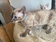 Bengal Kitten 2 Mädchen Snow