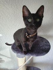 OKH Bengal mix edelmix Kitten