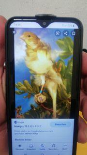 Makige Kanarienvögel