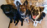 Erfahrener Dogsitter Gassiservice