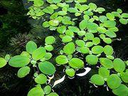 Muschelblume Aquarienpflanzen Versand