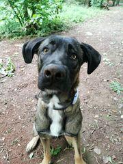 1 Jahr alter kastrierter Schäfer-Herdenschutzhund-Mischling