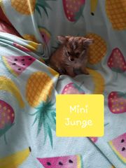 Ein Mini Chihuahua Rüde sucht